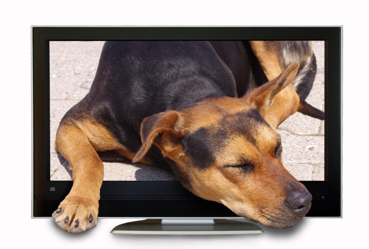 TV-kanal til hunde snart i Danmark (foto: Pixabay)